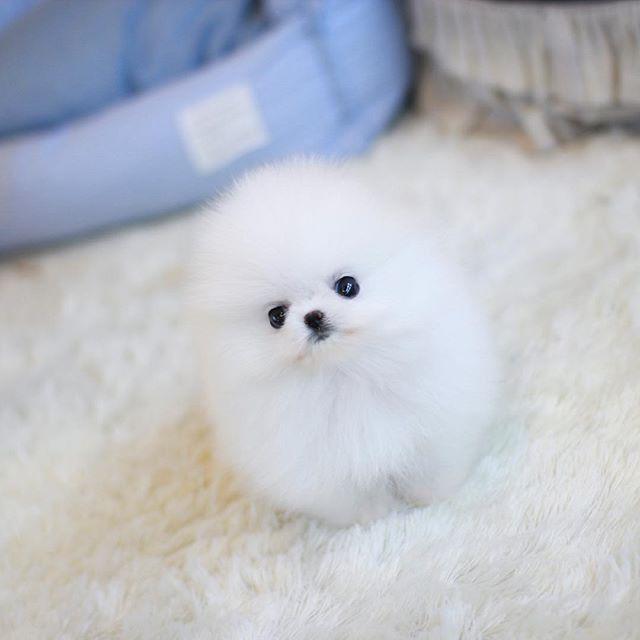 Teacup Pomeranian Puppies Home