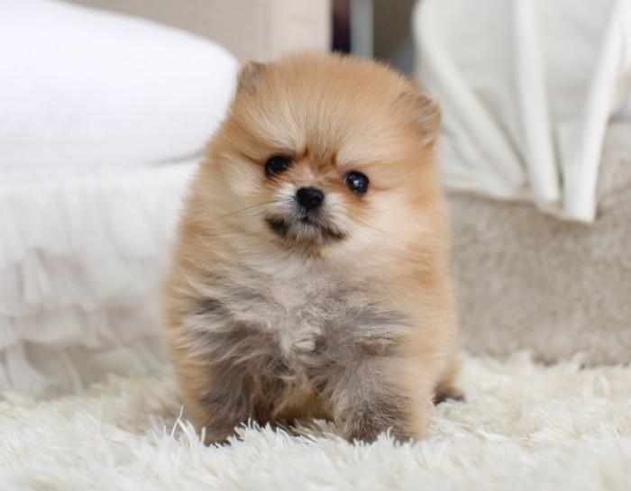 TEACUP POMERANIAN PUPPIES HOME - Available Poms