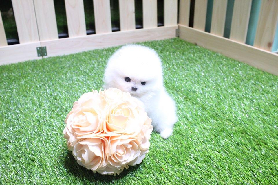 Teacup Pomeranian Puppies Home