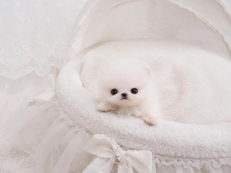Teacup Pomeranians Mansion Available Poms